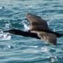 Comorant Ramsey Sound St Davids Pembrokeshire