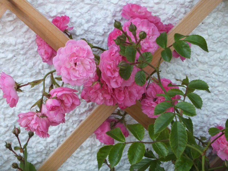 Y Nyth garden roses Treginnis holiday cottages St Davids Pembrokeshire Wales, booking conditions page