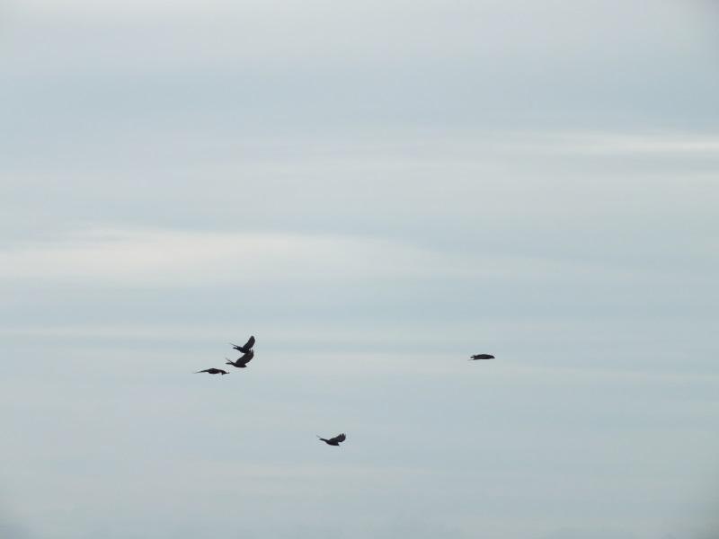 Pembrokeshire Birds, Choughs near St Davids , Pembrokeshire, Wales UK