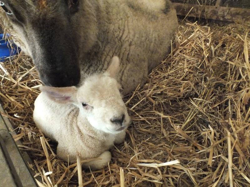 Lambing 2017 1st lamb born Treginnis Cottages, St Davids, Pembrokeshire Wales